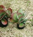succulents kalanchoe thyrsiflora