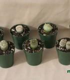 succulents lithops cactus