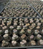 succulents lithops living stones