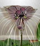 tacca bat flower