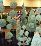 topiary az carolina cypress