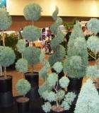 topiary az carolina cypress
