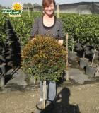 topiary eugenia ball