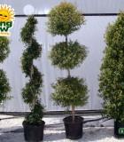 topiary eugenia
