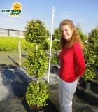 topiary eugenia ball tree