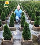 topiary eugenia cone