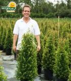 topiary eugenia conei