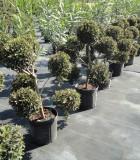 topiary eugenia pom pom