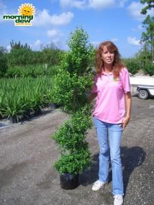 topiary eugenia spiral tree