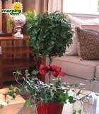 topiary ivy globe