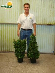 topiary ivy trellis tree
