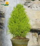 topiary lemon cypress