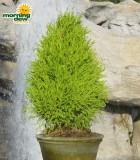 topiary lemon cypress