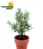 topiary rosemary tree
