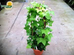 totems algerian ivy lemon