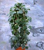 totems algerian ivy variegated