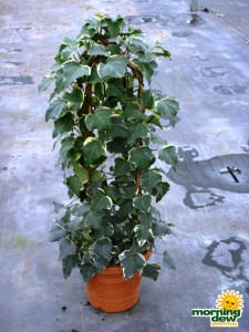 totems algerian ivy variegated