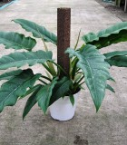 philodendron jungle boogie totem