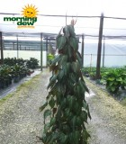 totems philodendron micans