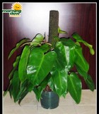 totems philodendron red emerald