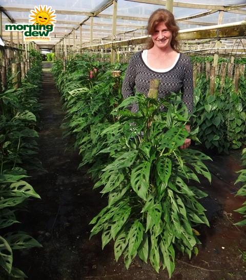 Totem - Morning Dew Tropical Plants