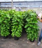 totems pothos jade
