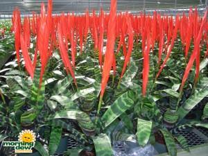 vriesea splenreit bromeliad