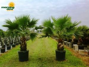washingtonia palm
