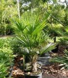 windmill palm trachycarpus fortunai