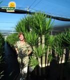 yucca cane