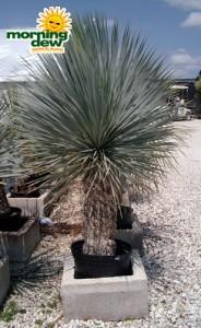 yucca rostrada