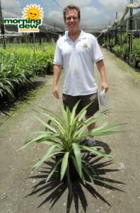 yucca tip variegated