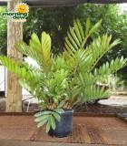 zamia furfuracea coontie palm
