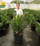 zamioculcas zamifolia zz plant