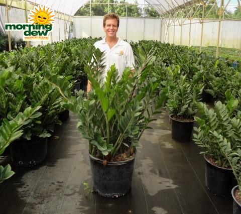Zamioculcas Morning Dew Tropical Plants