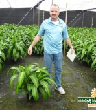 Dracaena Mass Tips