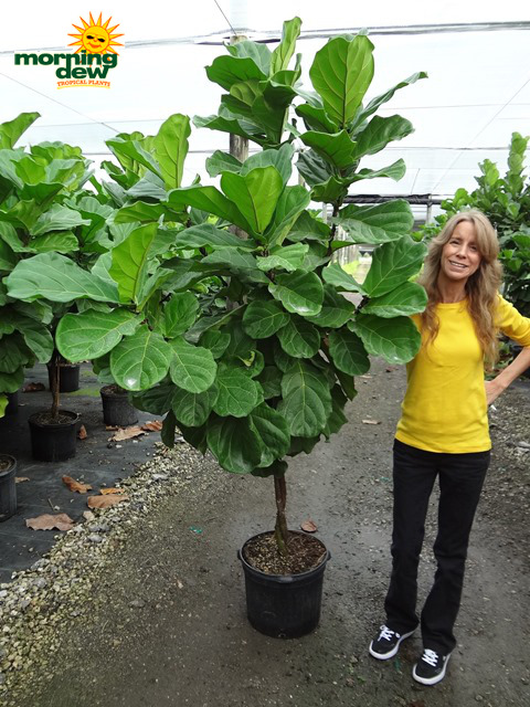 Ficus Lyrata Pandurata Std 12 In Morning Dew Tropical
