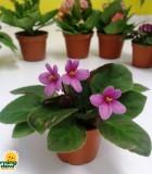 Flowering African Violet Mini