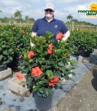 Flowering Hibiscus Bush Red 14 in