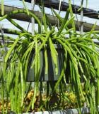 Hanging Basket Rhipsalis