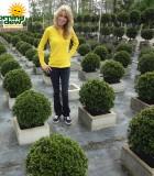 Topiary Eugenia Myrtifolia Globe