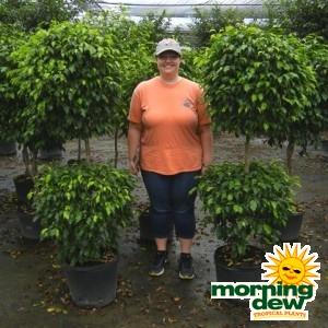 Topiary Ficus Benjamina Poodle