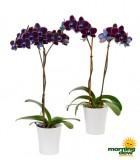 Orchid Phalaenopsis Black Velvet Mystique