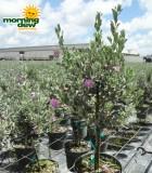 Texas Sage tree