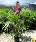 Palm Ravenea Majesty Multi