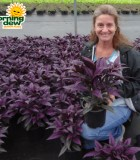 Strobilanthes Persian Shield