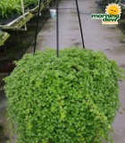 Hanging Basket Pilea Assorted