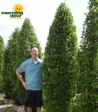 Topiary Eugenia Column