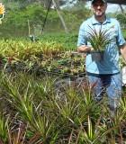 Bromeliad Neophytum Burgundy