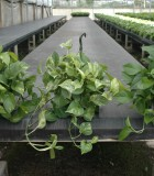Hanging Basket Pothos Assorted
